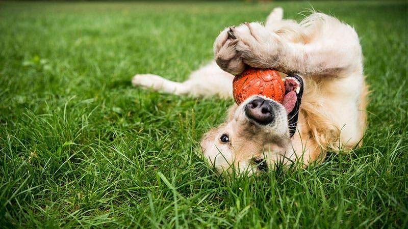 Dog playing with ball