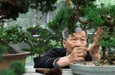 An older Asian man tends to his banzai trees.