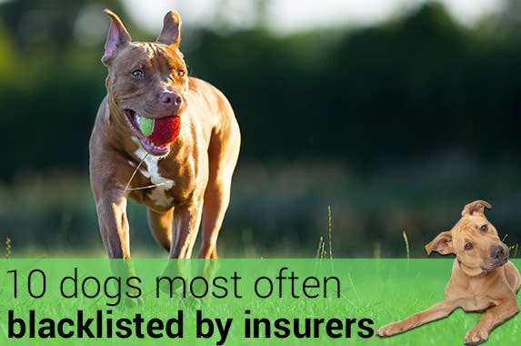 10 dogs most often blacklisted by insurers © arturasker/Shutterstock.com