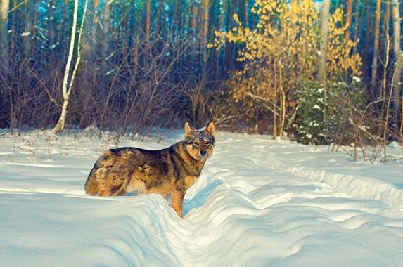 Wolf hybrids (wolf dogs) © vvvita/Shutterstock.com