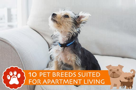 dog and cat breeds best suited for apartment living bankrate com