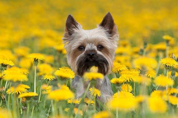 Yorkshire terrier © Vera Zinkova/shutterstock.com