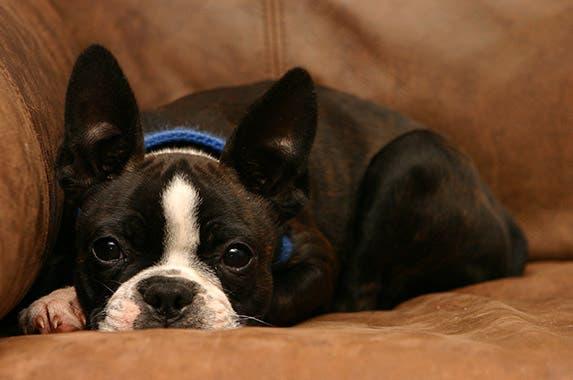 Boston terrier © Cindi Wilson/shutterstock.com