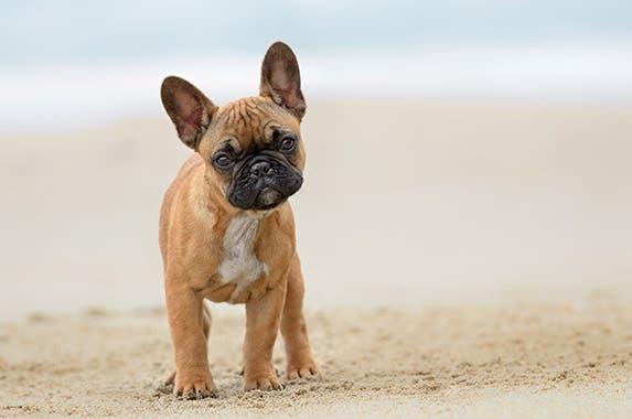French bulldog © tsik/shutterstock.com