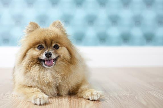 Pomeranian © Sarah Lew/shutterstock.com