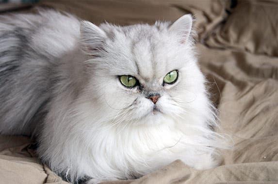 Persian © pavels/Shutterstock.com