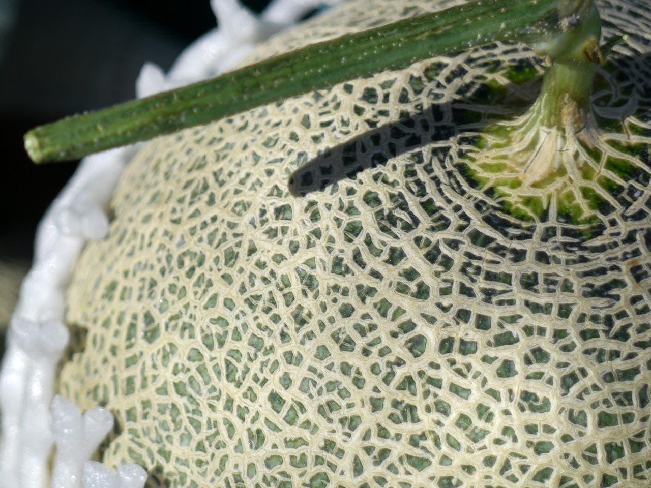 Melons | kunjaw/Shutterstock.com