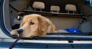 Golden retriever waiting patiently in back of a car for road trip © Mat Hayward/Shutterstock.com