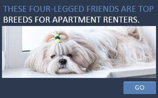 These four-legged friends are top breeds for apartment renters. © chaoss/Shutterstock.com