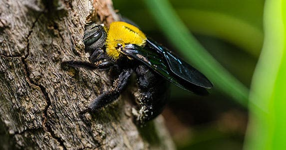 Carpenter bees © SweetCrisis/Shutterstock.com