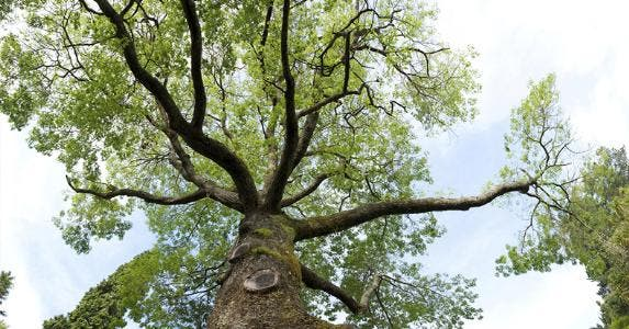 Large tree © iStock