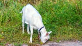 My neighbor grazes goats on an abandoned lot. Does that mean he'll own it someday?