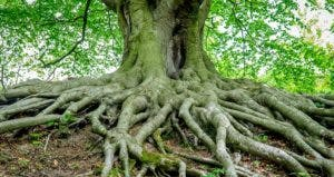 Roots of huge tree | Peter Owen / EyeEm/Getty Images