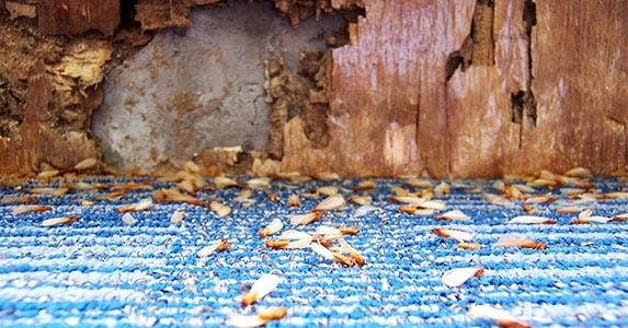 Buy a home with termite damage | ChristianNasca/E+/Getty Images