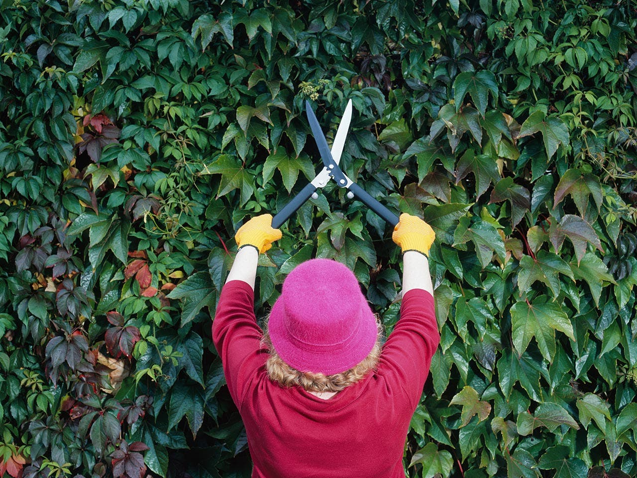 Woman trimming hedges with scissors