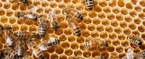 Bees in honeycomb © satephoto/Shutterstock.com