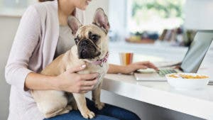 woman on laptop with french bulldog