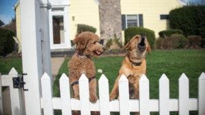 Two dogs in a front yard