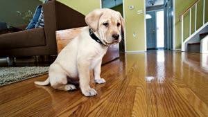 puppy sitting on hardwood floor