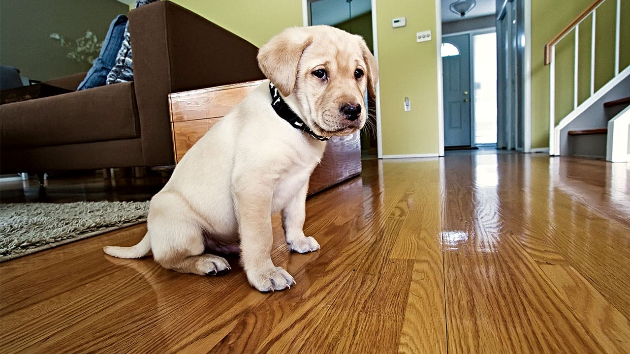 Puppy Sitting On Hardwood Floor