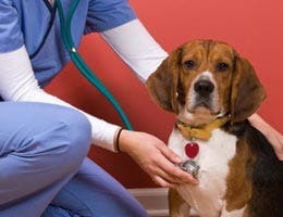 Veterinarian assistant checking dog's heartbeat