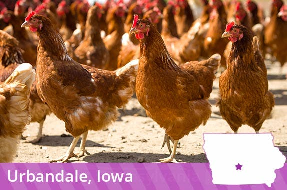 Iowa: Millions of hens © goodmoments/Shutterstock.com