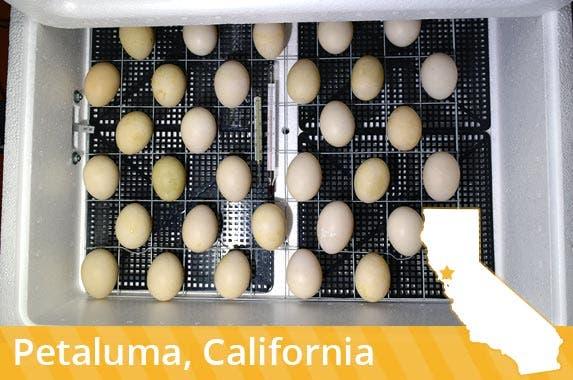 California: Egg incubator © Leonid Eremeychuk/Shutterstock.com
