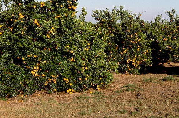 Citrus grove | Comstock Images/Stockbyte/GettyImages