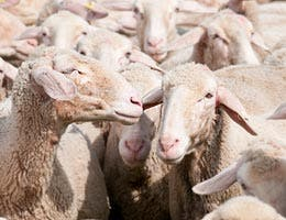 Counting sheep and dollars