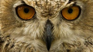 Brown screech owl