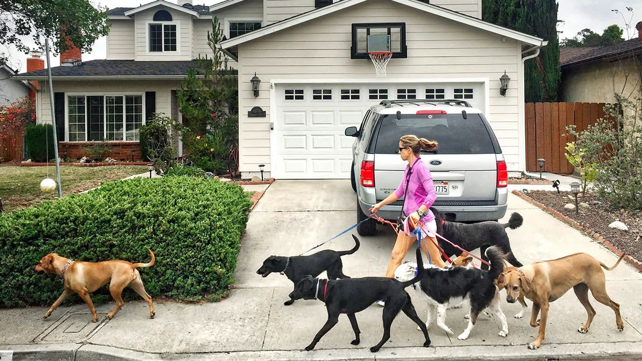 Professional dog walker walks dogs in neighborhood