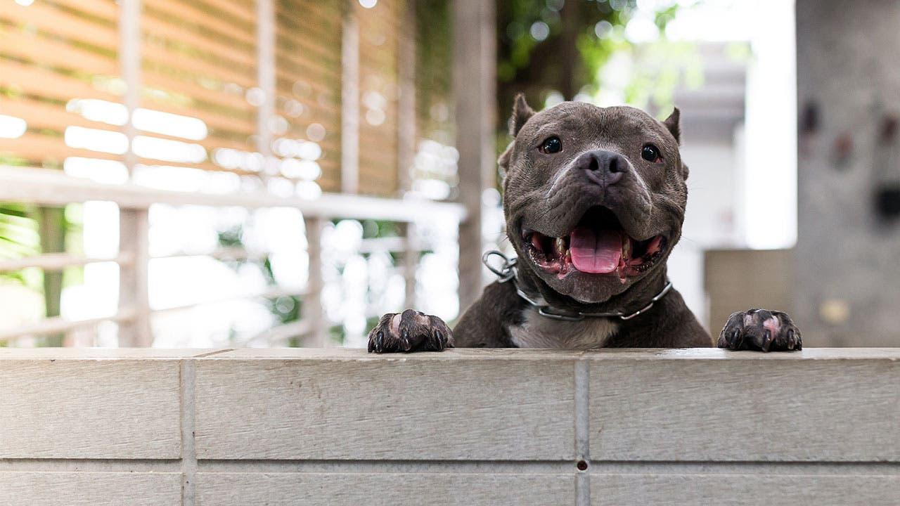 Pit bull peering out of yard