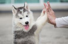 Husky puppy giving a high five