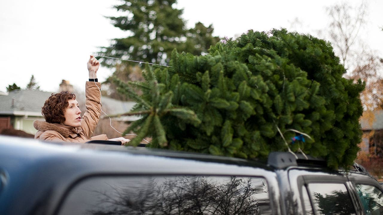 Woman tying a Christmas tree to her car