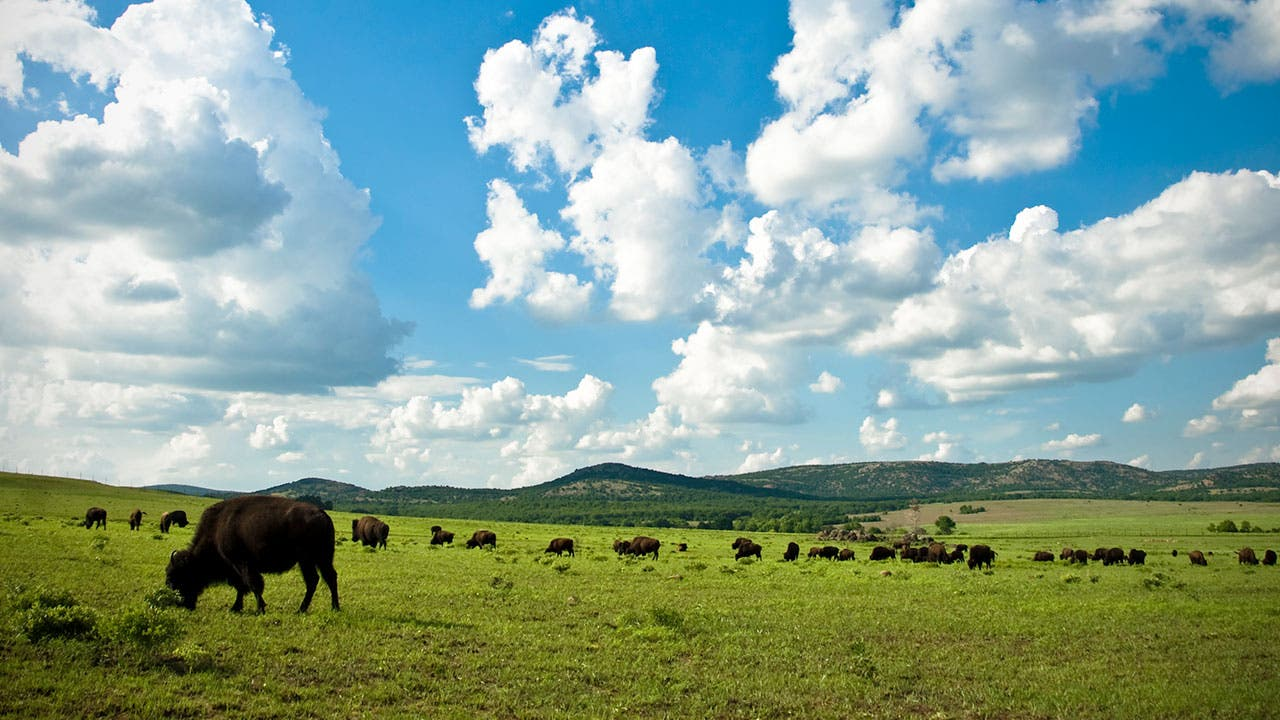 Buffalo roaming in Kansas