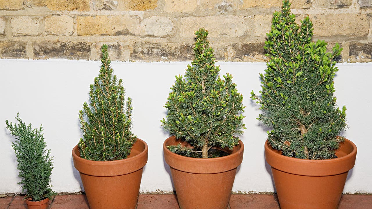 Tree plants in pots