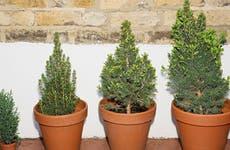 Tree plants in pots