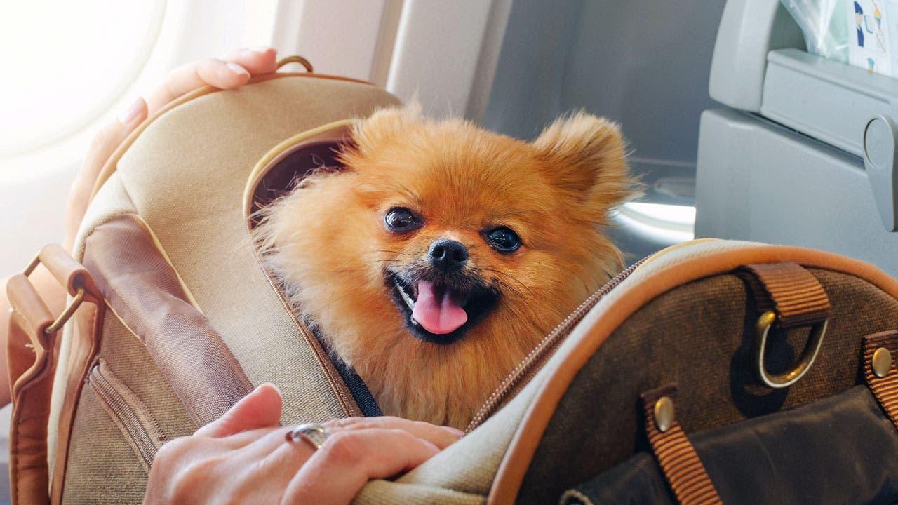 Puppy on a plane